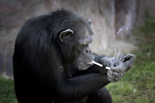 VIDEO - Azalea, le chimpanzé qui fume un paquet par jour !
