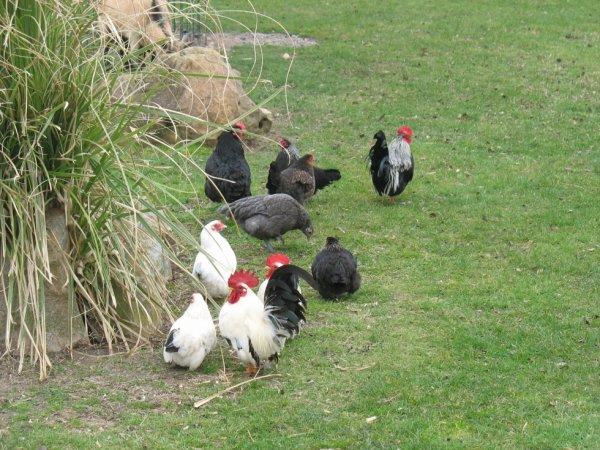 m�me les poules elles fond le gros dos