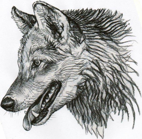 Dessin de tete de loup - Image de dessin de loup ...