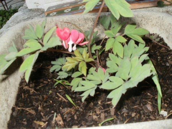 pour Microbeguylaine , les coeurs de Marie rouges , peu de fleurs cette premiere ann�e de plantation