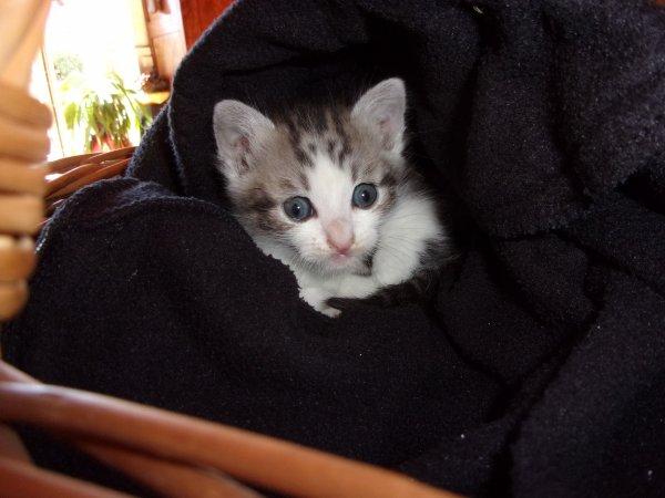 la famille s'agrandit, ce chaton a �t� sauv� de la noyade pr�vue par mon voisin!, vendredi dernier jour de la st Juste, je pense que c'est un m�le, ce sera donc  Justin  (non, pas Bridou!! ) ou Justine si je me suis tromp�e!