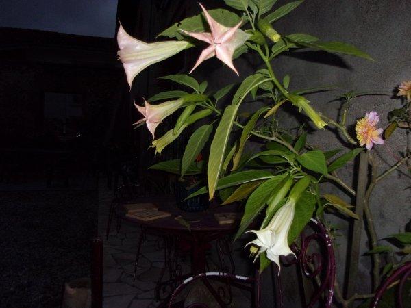 mon datura est en pleine folie, il perd ses feuilles qui jaunissent, normal, c'est l'automne, mais fleurit maintenant alors qu'il n'a rien donné au printemps!