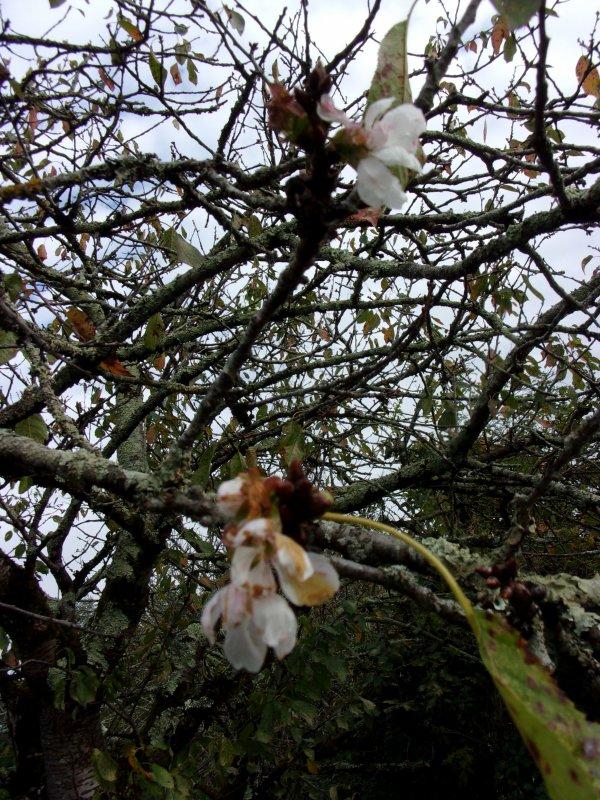 le vieux cerisier du voisin porte aussi quelques fleurs !!!!