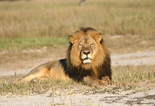 La mort du lion Cecil n'a pas �t� vaine