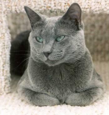 Dame de chat russe posté ici