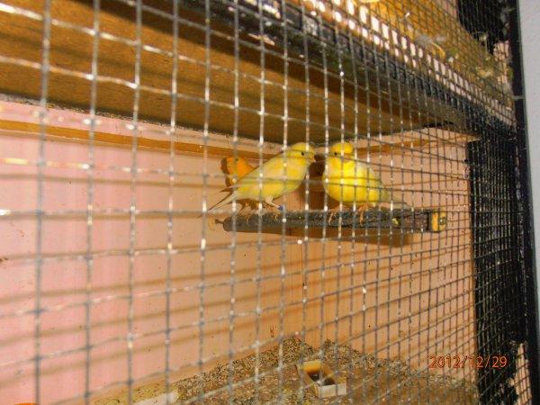 mon 2eme couple qui ma fait 5 jeunes oujai garde une femelle le male est le plus fonce et la femelle est baguees