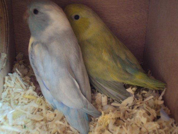couple bleu pastel panach x vert pastel blog de perruches eu. Black Bedroom Furniture Sets. Home Design Ideas