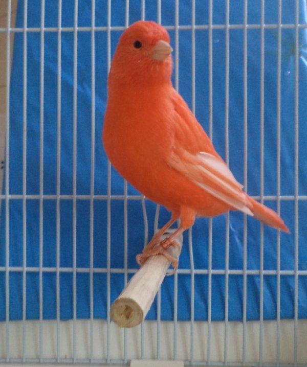 femelle rouge plus petite que son frere mais je la trouve jolie