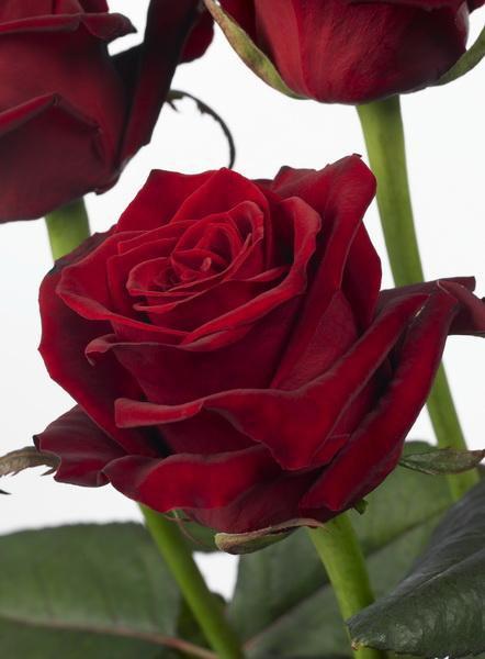 علمتنى الورود .......