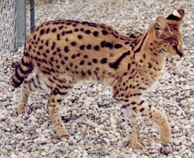 Le serval a de grandes oreilles et une petite tête de chat de couleure fauve avec quelque rayures et des taches noires les oreilles sont noires aussi il vit