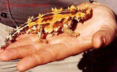 L'animal du mois : Le diable cornu
