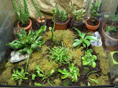 mon terrarium mes plantes carnivores. Black Bedroom Furniture Sets. Home Design Ideas