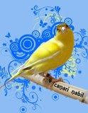 Photo de canari-nabil