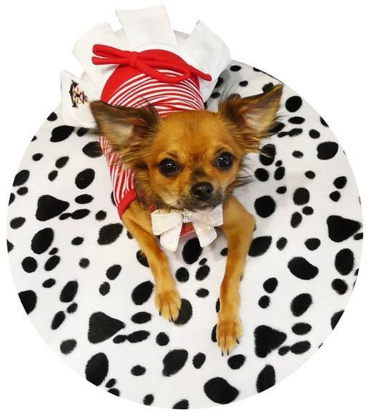 Un mini chien � la mode : le chihuahua