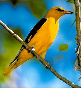 Blog de lou garotte les n 39 animaux for Oiseau jaune france