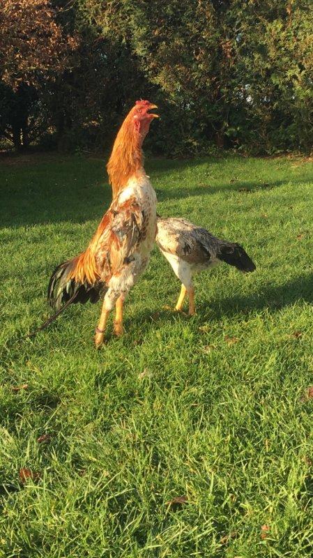 Coq et poule O shamo
