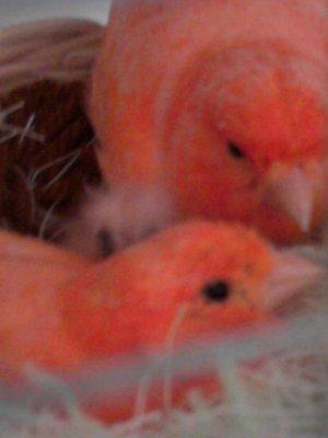 couple de canaris rouge schimmel
