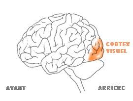 Image result for cerveau visuel