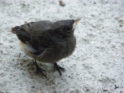 Un bebe oiseau rouge queue ce que j 39 adore for Oiseau queue rouge