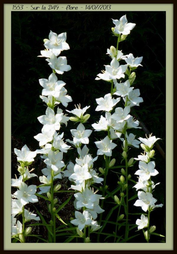 Campanule feuilles de p cher blanche alias campanula percisifofia alba apchon sur la d49 - Campanule a feuilles de pecher ...