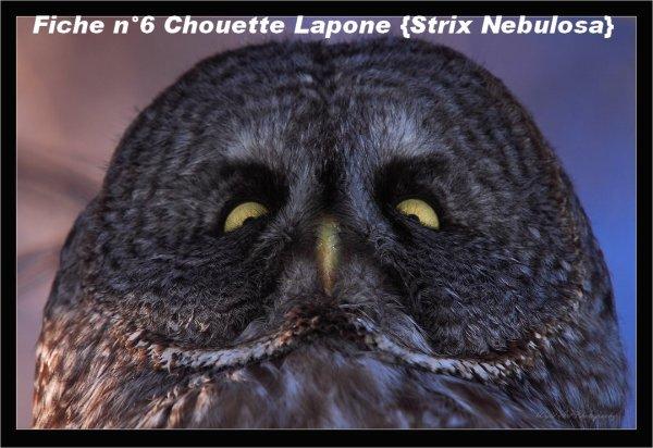 Fiche n°6 Chouette lapone {Strix Nebulosa}