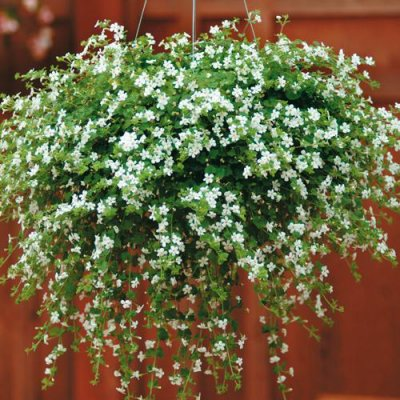 Fleurs tombantes pour jardiniere for Plante retombante