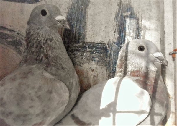 A vendre, (Résèrvés, Merci ) deux jeunes males gris, fils de ma grise meuniere Bobo