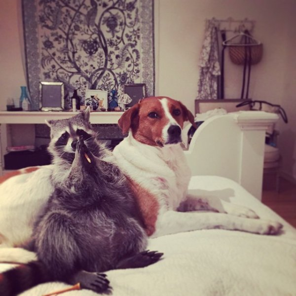 Racoon and Her Dog Friend