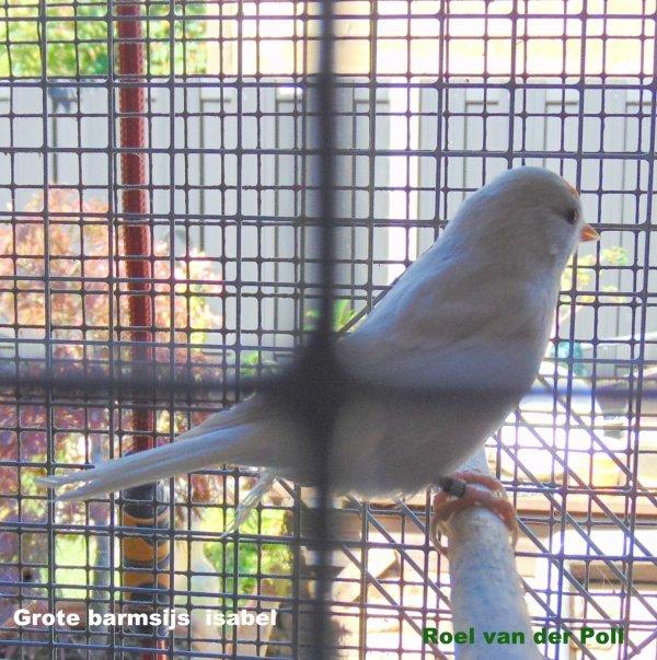 Barmsijs  isabel  ( agaat bruin )
