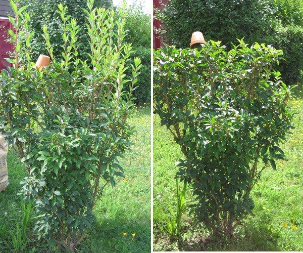 26 2 quand tailler les arbustes fleurs le jardinier du 82 - Quand tailler les lauriers roses ...