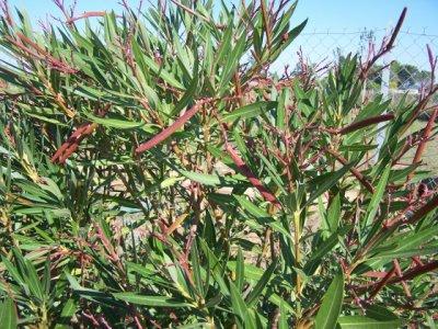 26 2 quand tailler les arbustes fleurs le jardinier du 82 - Quand tailler un laurier rose ...