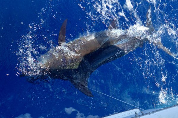 Report of the 25 august 2016 ----------------------------------------- And another blue marlin for Xacara 200 pound noseless rat hooked in the dorsal . Marty and me both saw a white marlin bill fiddeling be hind the lure and suddenly we get sideway crash bite !?... Brasilia saw a tailer.