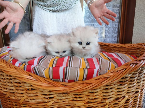Falbala des Chats Choux
