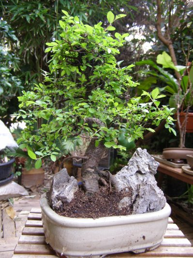 Orme de chine vendre blog de bonsai 83 - Orme de chine bonsai ...