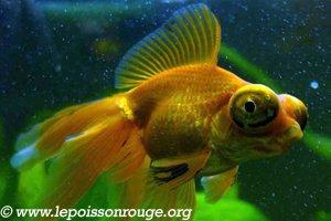 Les race de poisson rouge le t l scope blog de for Poisson rouge gros yeux