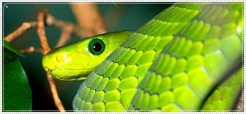 Le serpent le plus rapide