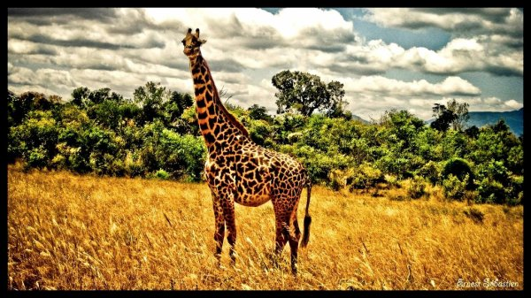 La girafe est le plus grand animal du monde.