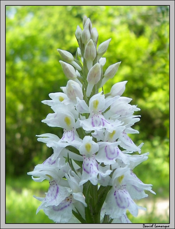 orchid e sauvage blanche et bleue nature mon amie. Black Bedroom Furniture Sets. Home Design Ideas