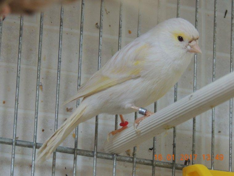 Ma femelle ISABELLE mosaique jaune (souche Frédéric Guyaux) et SATINE mosaique jaune (Souche Sonnery)