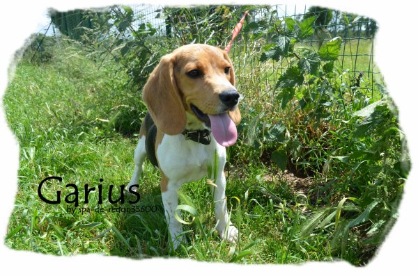 """"""" Garius: Beagle .. """""""