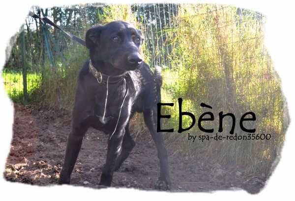 """""""Ebène: Croisé labrador noir ... """""""
