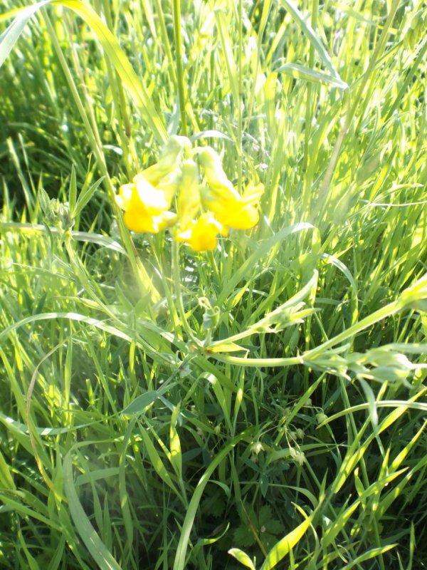 vesce jaune (vicia lutea)