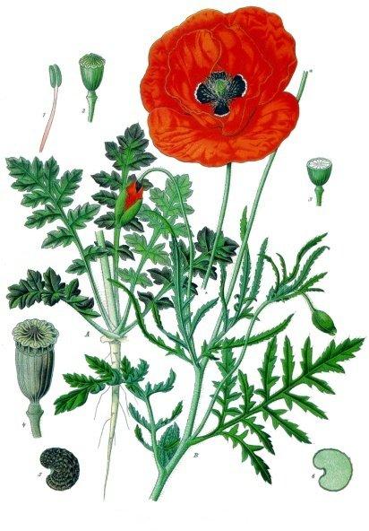 coquelicot (Papaver rhoeas)