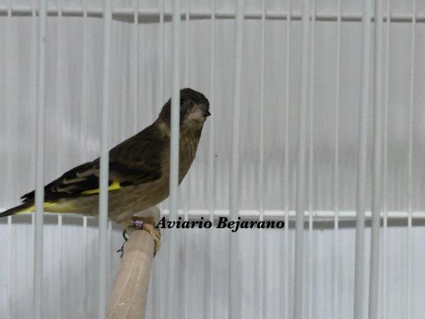 Después de mucho tiempo si poner nada en mi blog. Regresó con aves nuevas en mi Aviario