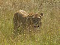 Resume des obseques de la lionne
