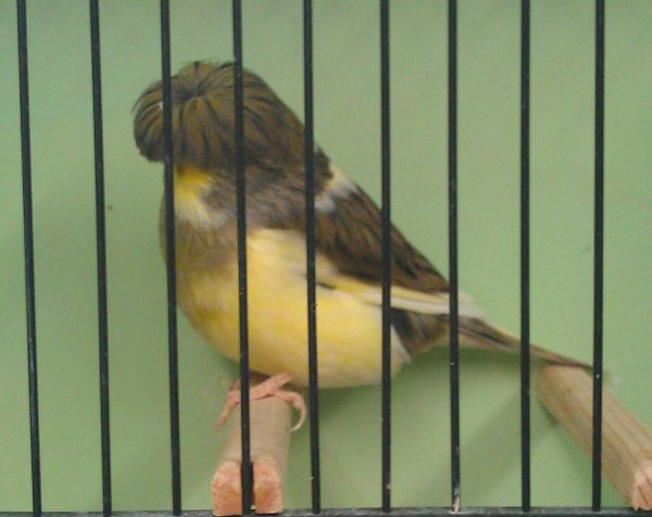 Gloster Corona Male