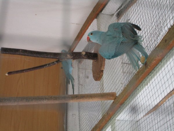� vendre deux males perruches � colliers bleus turquoises de 2016