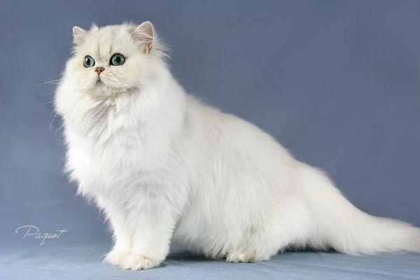 les races de chats domestique le persan chinchilla les animaux. Black Bedroom Furniture Sets. Home Design Ideas