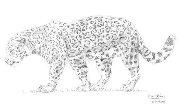 Dessin f lin jaguar les animaux - Jaguar dessin ...