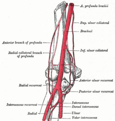 Structure vasculo-nerveuse du bras :
